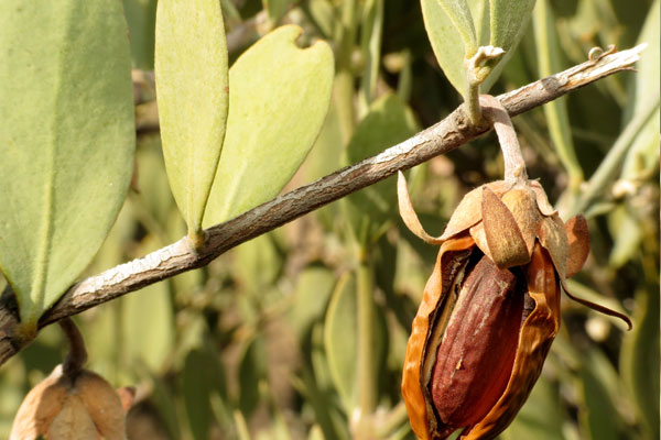 jojoba yağı faydaları