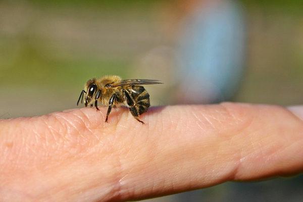 Arı Sokmasına Ne İyi Gelir? 9 Bitkisel İlk Yardım Yöntemi Tarifi