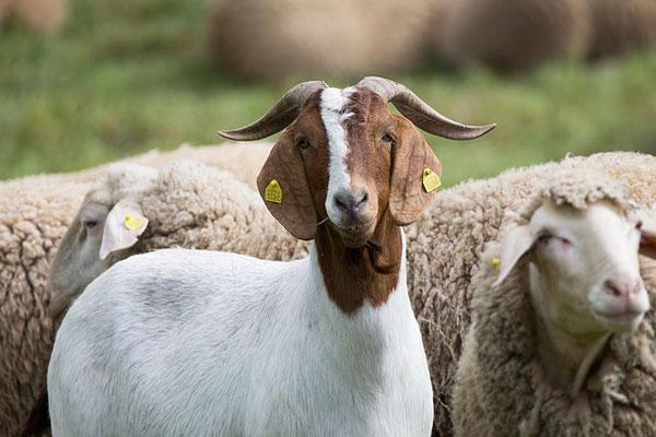 keçi sütü faydaları