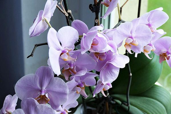 orkidelerin bakımı