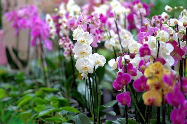 orkide nasıl çoğaltılır