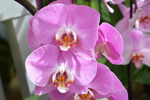 orkide saksısı