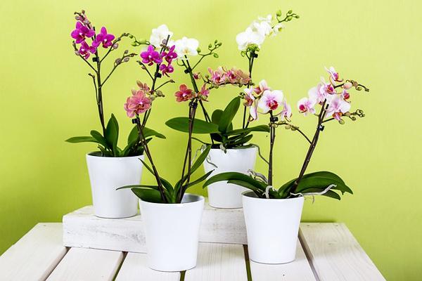 Orkide Bakımı: Çoğaltma, Budama, Sulama ve Saksı Değişimi Tarifi