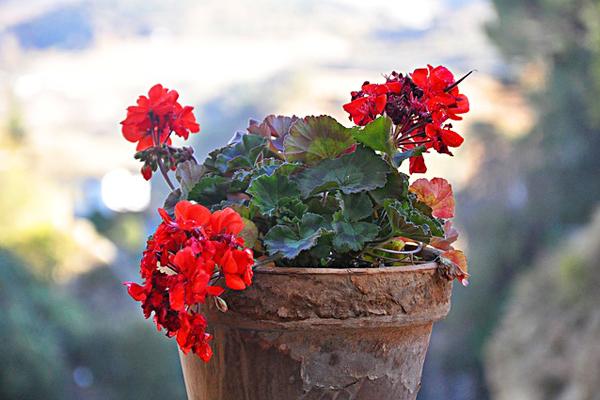 sardunya çiçek