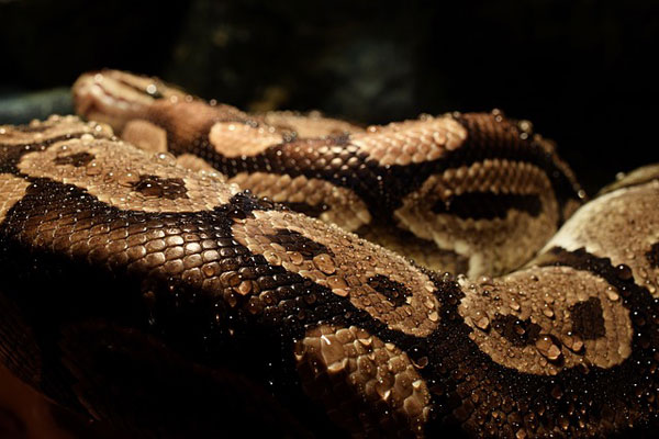 yılan yağı nedir