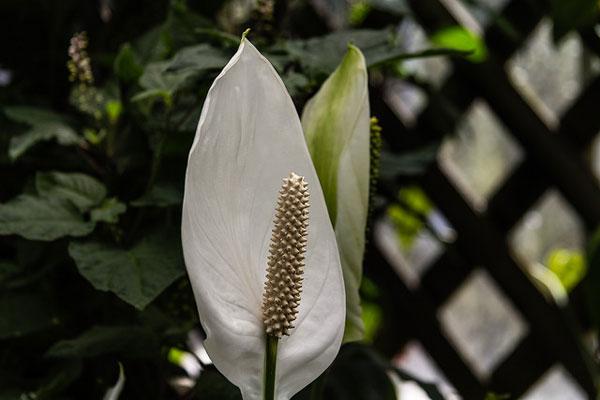 barış çiçeği saksı değişimi