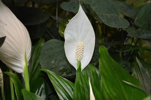 Barış Çiçeği Bakımı: Çoğaltma, Saksı Değiştirme, Sulama Tarifi