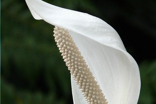 barış çiçeği tohumu