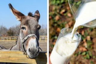 Eşek Sütü Faydaları, Hangi Hastalıklara İyi Gelir? Nasıl İçilir? Tarifi
