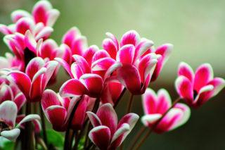 Sıklamen Çiçeği Bakımı: Ne Zaman Ekilir? Çoğaltma, Sulama Tarifi