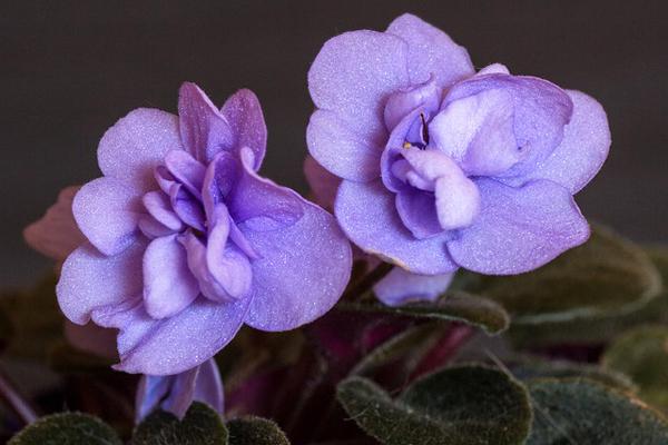 sıklamen çiçeği özellikleri