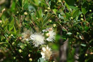 Murt Meyvesi Faydaları Cilt, Mide ve Metabolizma Hastalıklarına Birebir! Tarifi