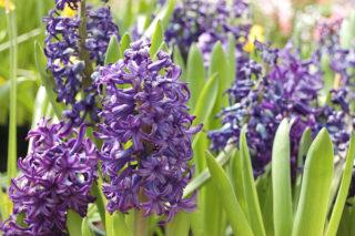 Sümbül Çiçeği Bakımı: 6 Adımda İhtiyacınız Olan Tüm Püf Noktaları Tarifi