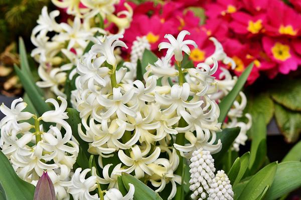 sümbül çiçeği