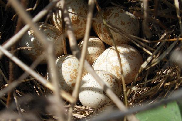 keklik yumurtası faydaları