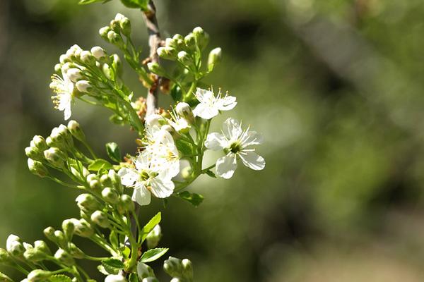 mahlep bitkisi