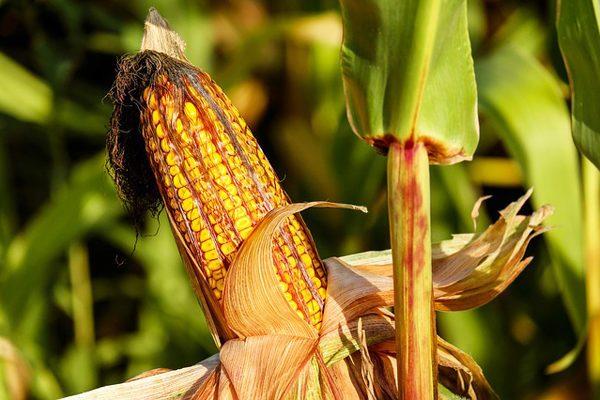 mısır püskülü