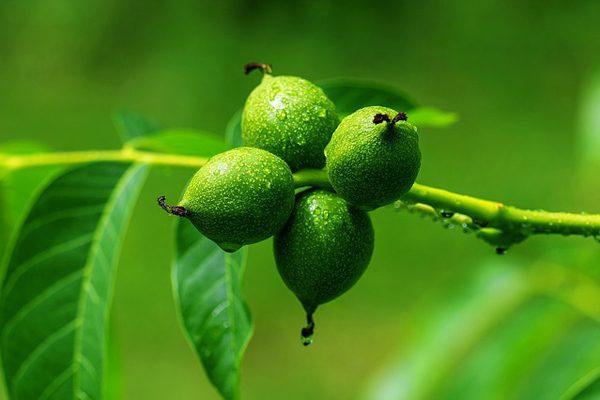Ceviz Yaprağının Faydaları – Hiç Duymadığınız 10 Mucizevi Etkisi Tarifi