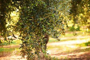 zeytin yaprağı