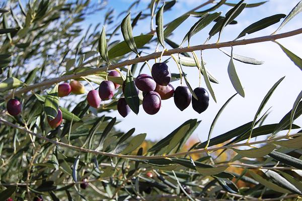 zeytin yaprağı faydaları