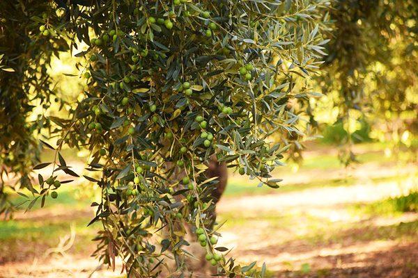 Zeytin Yaprağının Faydaları – Duyunca Çok Şaşıracağınız 7 Şifalı Etkisi Tarifi