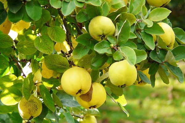 Ayva Yaprağı Faydaları – Hiç Duymadığınız 7 Tedavi Edici Özelliği Tarifi