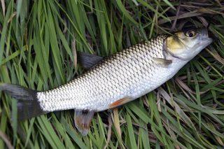 Kefal Balığı – Oltadan Sofraya Hakkında Merak Edilen Her Şey Tarifi