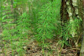 Fıtığı Yok Eden Bitki – Eğer Bu Kürü 30 Gün Boyunca Uygularsanız Tarifi
