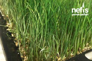 Evde Buğday Çimlendirme Nasıl Yapılır? Resimli Püf Noktalı Anlatım