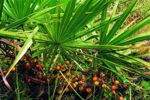 cüce palmiye