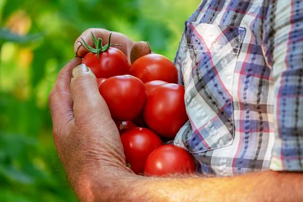 domates nasıl yetiştirilir
