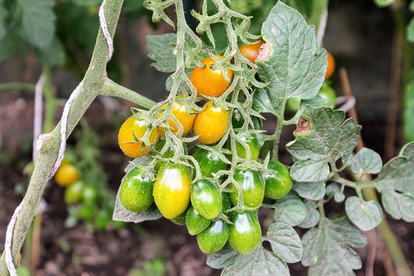 domates yetiştirme