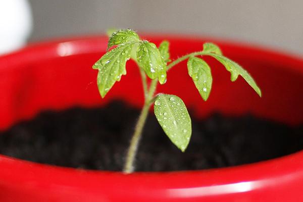 saksıda domates nasıl yetiştirilir