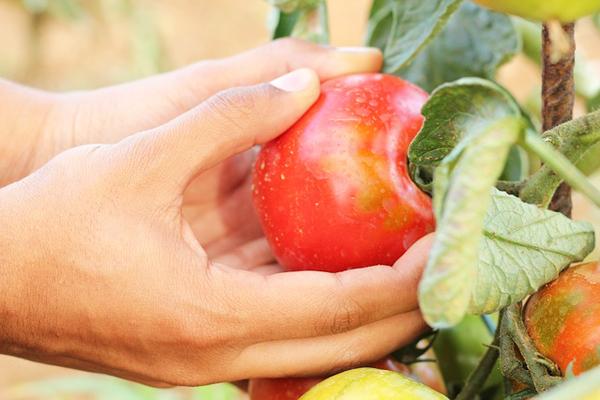 bahçede domates nasıl yetiştirilir