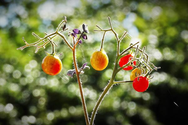 domates fidesi zararlıları