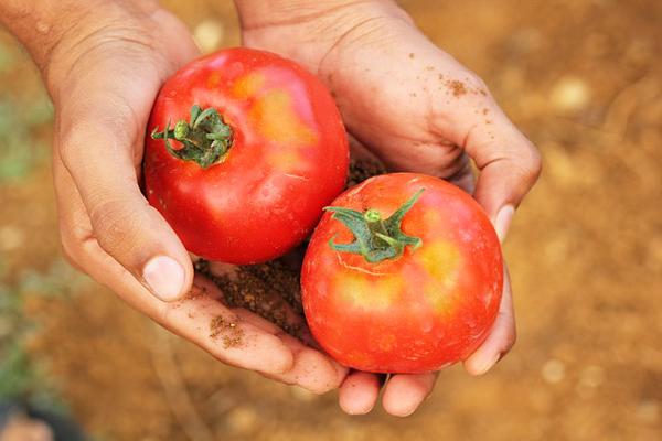 Saksıda Organik Domates Nasıl Yetiştirilir? Tarifi