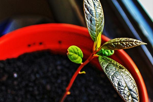 avokado yetiştirmek
