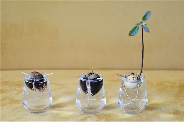 avokado nasıl yetiştirilir