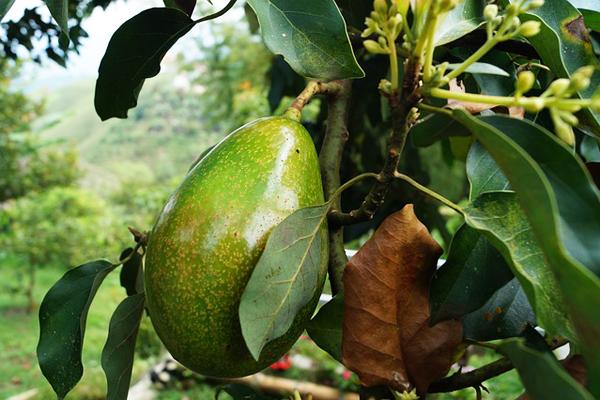 Aşamalı Resimli: Evde Avokado Nasıl Yetiştirilir? Tarifi