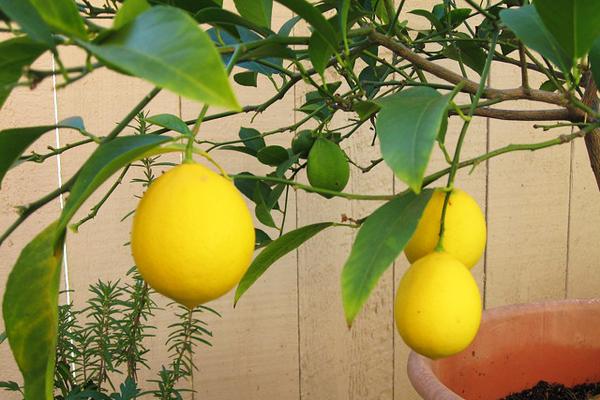 limon ağacı nasıl yetiştirilir