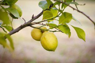 limon nasıl yetiştirilir