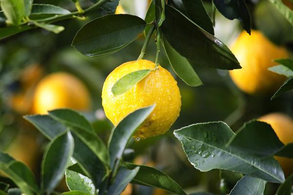 limon sulama