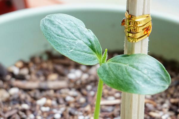 salatalık nasıl yetiştirilir