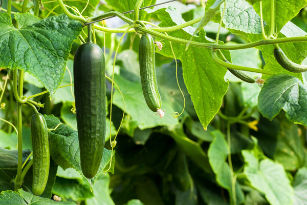 4 Kolay Adım: Evde Salatalık Nasıl Yetiştirilir? Tarifi