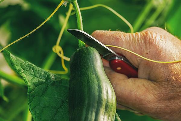 salatalık yetiştirme