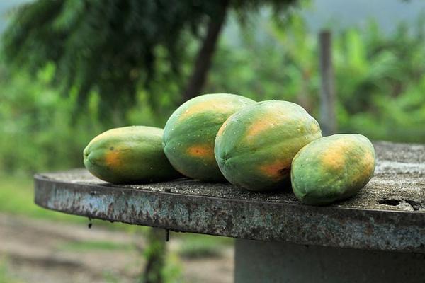 papaya yetiştiriciliği