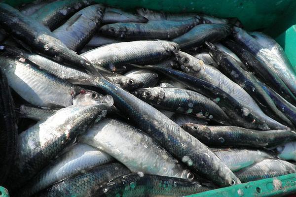 Omega 3 Deposu Ringa Balığının 10 Faydası Tarifi