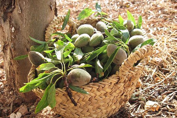 çağla meyvesi faydaları
