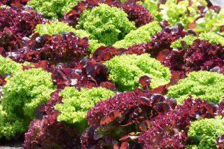 Lolorosso Nedir? Kırmızı Marulun 7 Önemli Faydası Tarifi