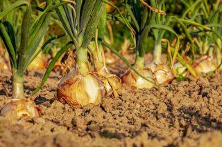 Evde Kuru Soğan Nasıl Yetiştirilir? Resimli 3 Adım Tarifi